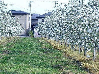 住宅とリンゴの木.jpg