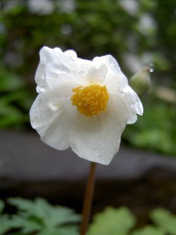 白雪げしの花。(芥子科)1.jpg