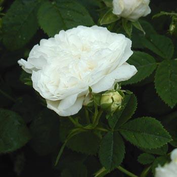 Plantier350.jpg