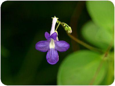 hanas227_streptocarpus.jpg