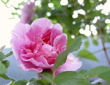 rosa7.JPG