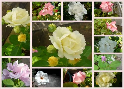 夏のバラ.jpg